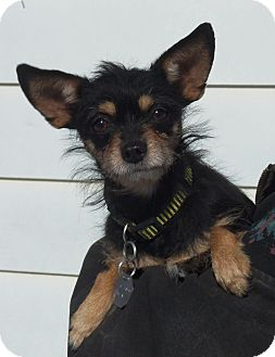 Chihuahua Dog for adoption in Minneapolis, Minnesota - Jojo