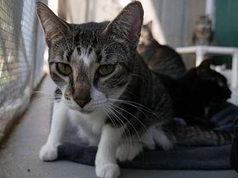 Domestic Shorthair Cat for adoption in Sarasota, Florida - Ricotta