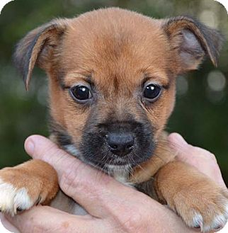 Spring Valley Ny Pomeranian Meet Diva A Pet For Adoption