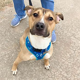 Adopt A Pet :: Moose  - Oklahoma City, OK