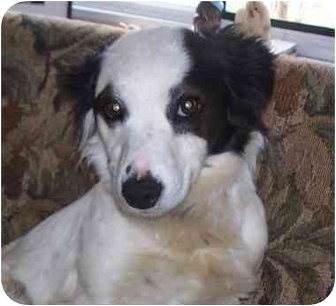 Border Collie/Australian Shepherd Mix Dog for adoption in New Fairfield, Connecticut - Cookie