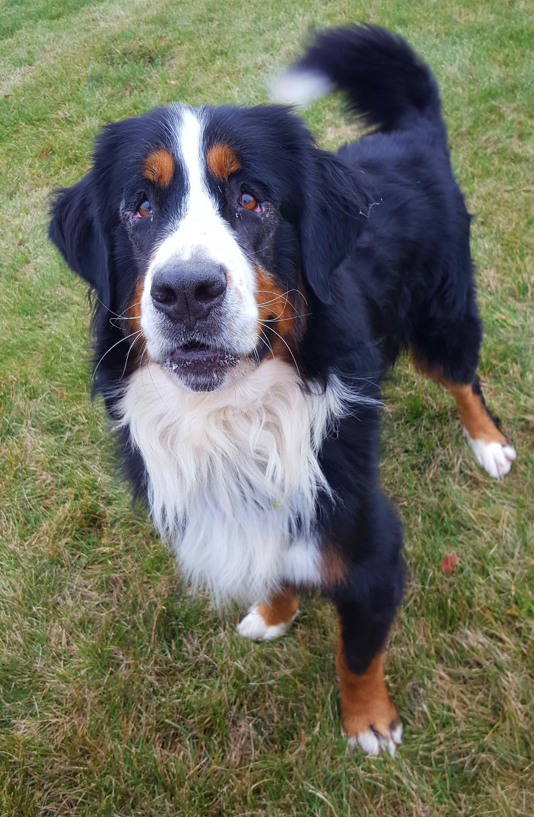 Mount Gilead Oh Bernese Mountain Dog Meet Murphy A Pet