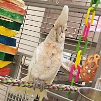 Fairport, NY - Cockatoo  Meet RASCAL a Pet for Adoption