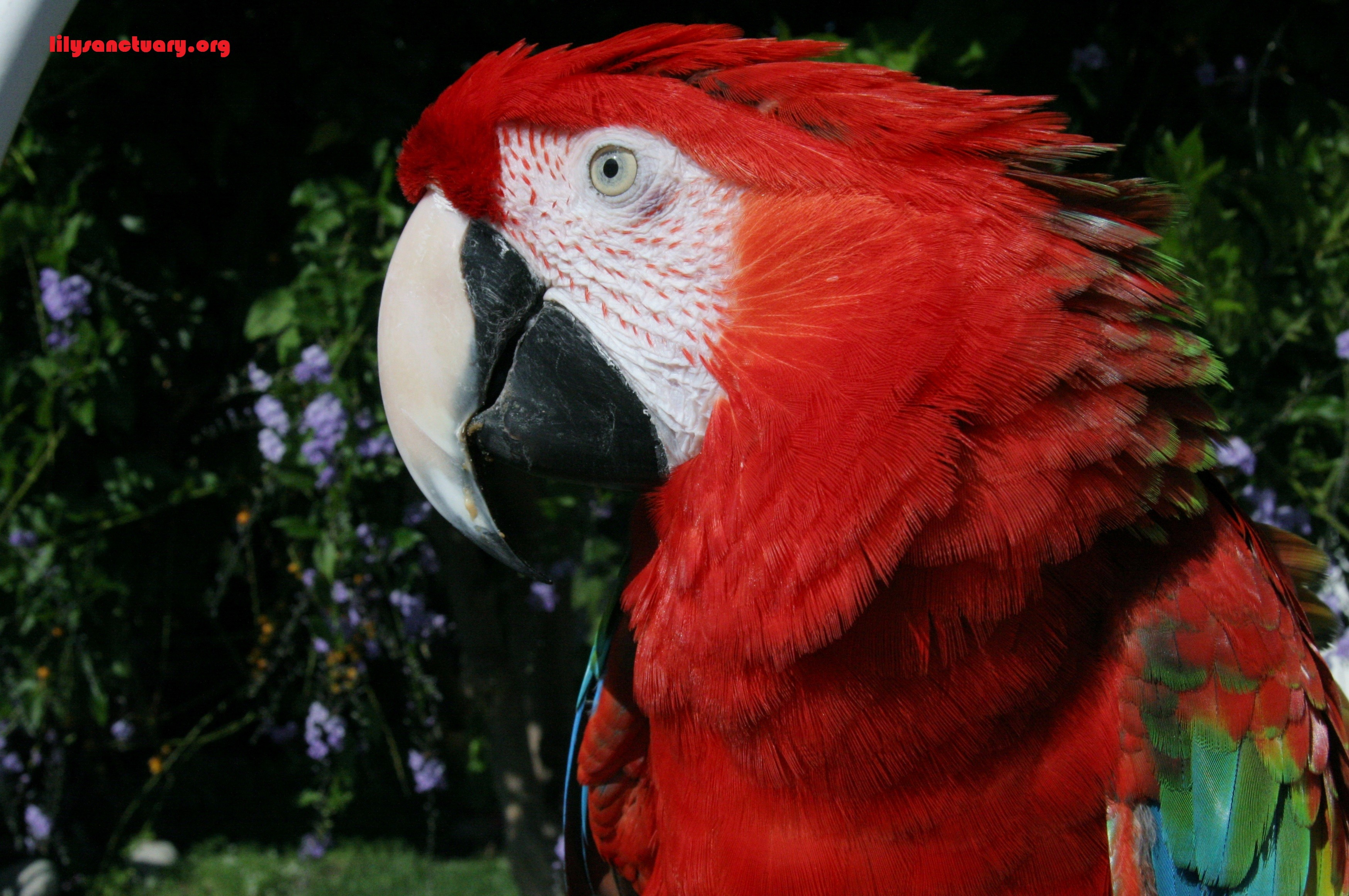 Fountain Valley, CA - Macaw  Meet Rojo a Pet for Adoption