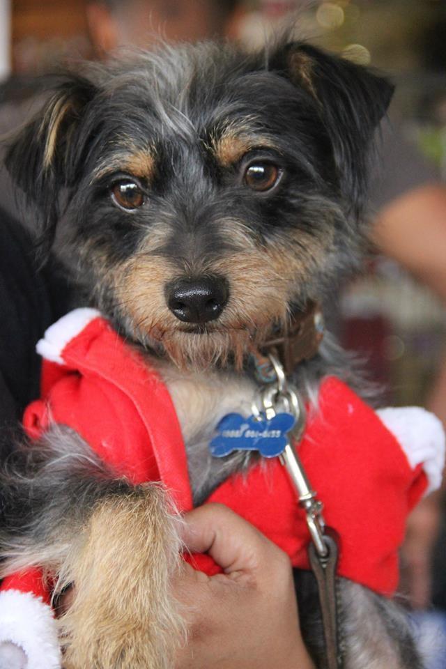 Los Angeles Ca Yorkie Yorkshire Terrier Meet Thomas The Terror