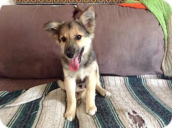 Minneapolis Mn German Shepherd Dog Meet Keebler A Pet For Adoption