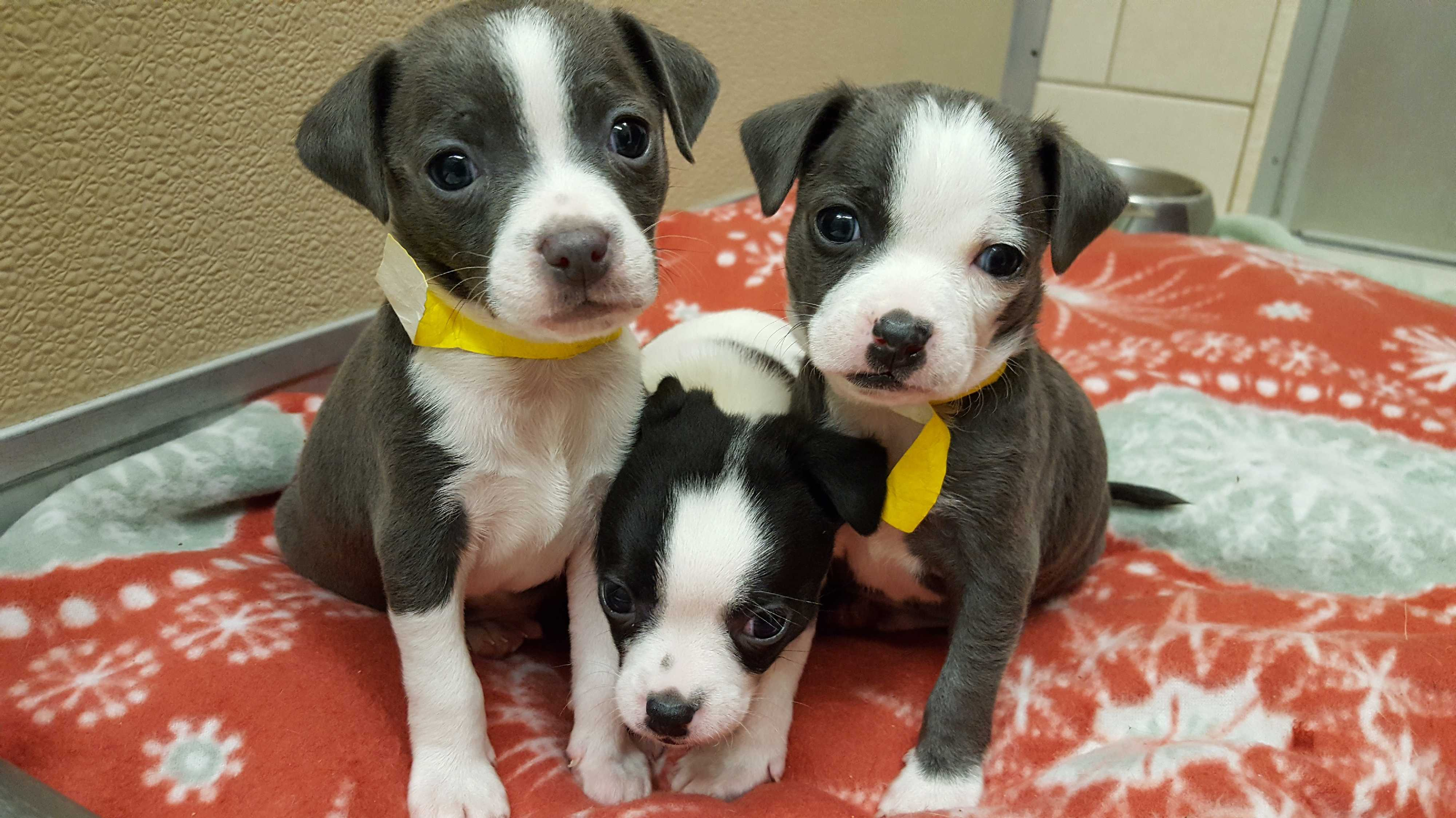 Middletown, NY - Chihuahua  Meet M'lynn's Puppies a Pet for