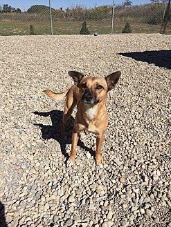 Adopt A Pet :: Josie  - Wilmington, OH
