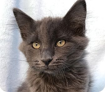 Russian Blue Kitten for adoption in La Jolla, California - Huckleberry