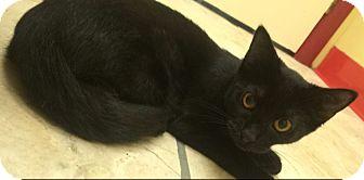 Domestic Shorthair Kitten for adoption in Richboro, Pennsylvania - Oprah
