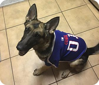 German Shepherd Dog Mix Dog for adoption in Portland, Maine - Allie (Cat Friendly)