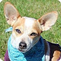 Adopt A Pet :: Andy *Adopt* - Fairfax, VA