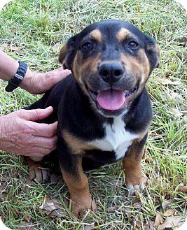 Leland, MS - Black and Tan Coonhound  Meet BECKETT a Pet for