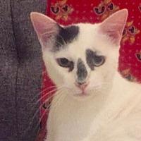 Adopt A Pet :: KEANU -CUTEST LOVER BOY! - New York, NY
