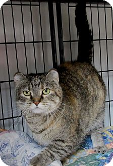 Domestic Shorthair Cat for adoption in Glenwood, Minnesota - Ireland