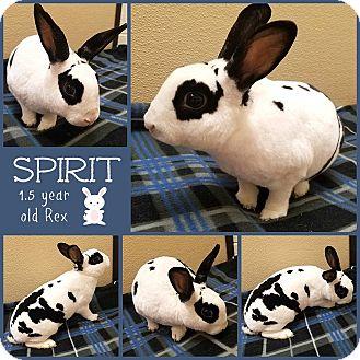 Rex Mix for adoption in Joliet, Illinois - Spirit