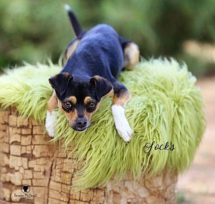 Lubbock Tx Pug Meet Socks A Pet For Adoption
