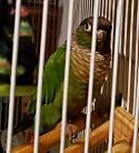 Adopt a Pet :: Hulk - Plainfield, IN -  Conure