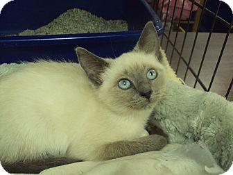 Siamese Kitten for adoption in Memphis, Tennessee - Tallulah