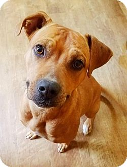 Boxer/Terrier (Unknown Type, Medium) Mix Dog for adoption in Kingston, Tennessee - Crystal