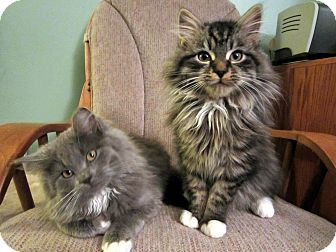 Maine coon rescue west virginia
