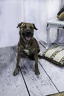 Shepherd (Unknown Type)/Boxer Mix Dog for adoption in New York, New York - Tigresa