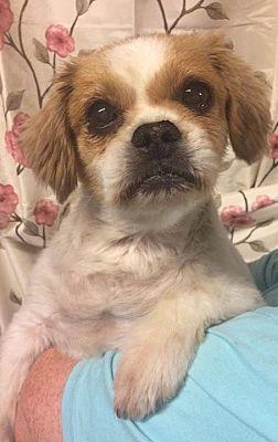 Kansas City Mo Shih Tzu Meet Blurry A Pet For Adoption