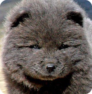 Wakefield Ri Chow Chow Meet Lingteddy Bear Puppy Wow A Pet