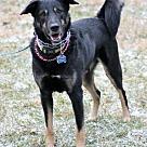 Adopt A Pet :: Bently