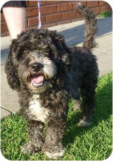 Los Angeles Ca Portuguese Water Dog