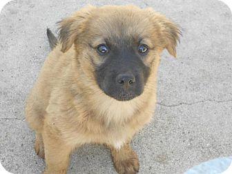 German Shepherd Golden Retriever Mix Puppies For Sale In California