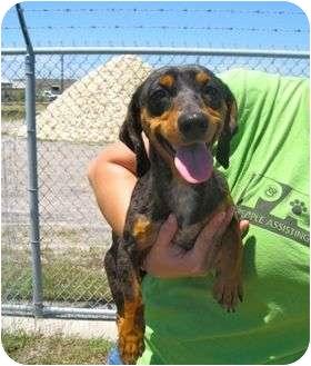 Corpus Christi Tx Dachshund Meet Slinkey A Pet For Adoption