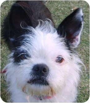 North Augusta Sc Boston Terrier Meet Chloe A Pet For Adoption