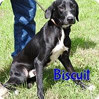 Adopt A Pet :: Biscuit - Tampa, FL