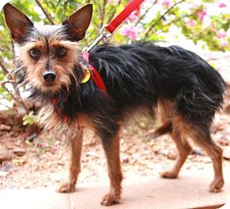 Yorkie, Yorkshire Terrier Mix Dog for adoption in Gilbert, Arizona - Buttercup