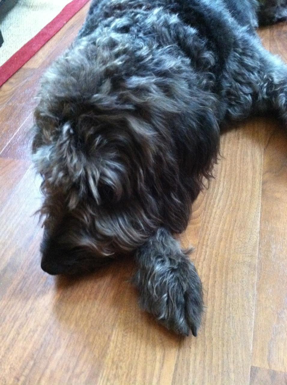 Myakka City, FL - Labradoodle  Meet Sadie a Pet for Adoption