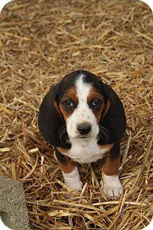 Zanesville Oh Basset Hound Meet Pearl A Pet For Adoption