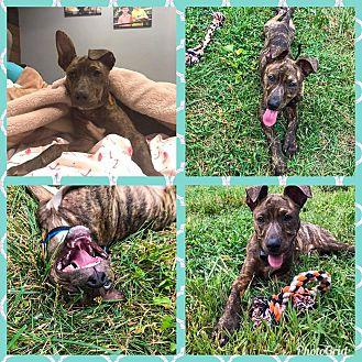 Adopt A Pet :: jagger  - Clarksville, TN