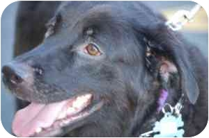 Labrador Retriever/Retriever (Unknown Type) Mix Dog for adoption in Raritan, New Jersey - Teddy