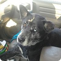Adopt A Pet :: Dakota - Cross Roads, TX