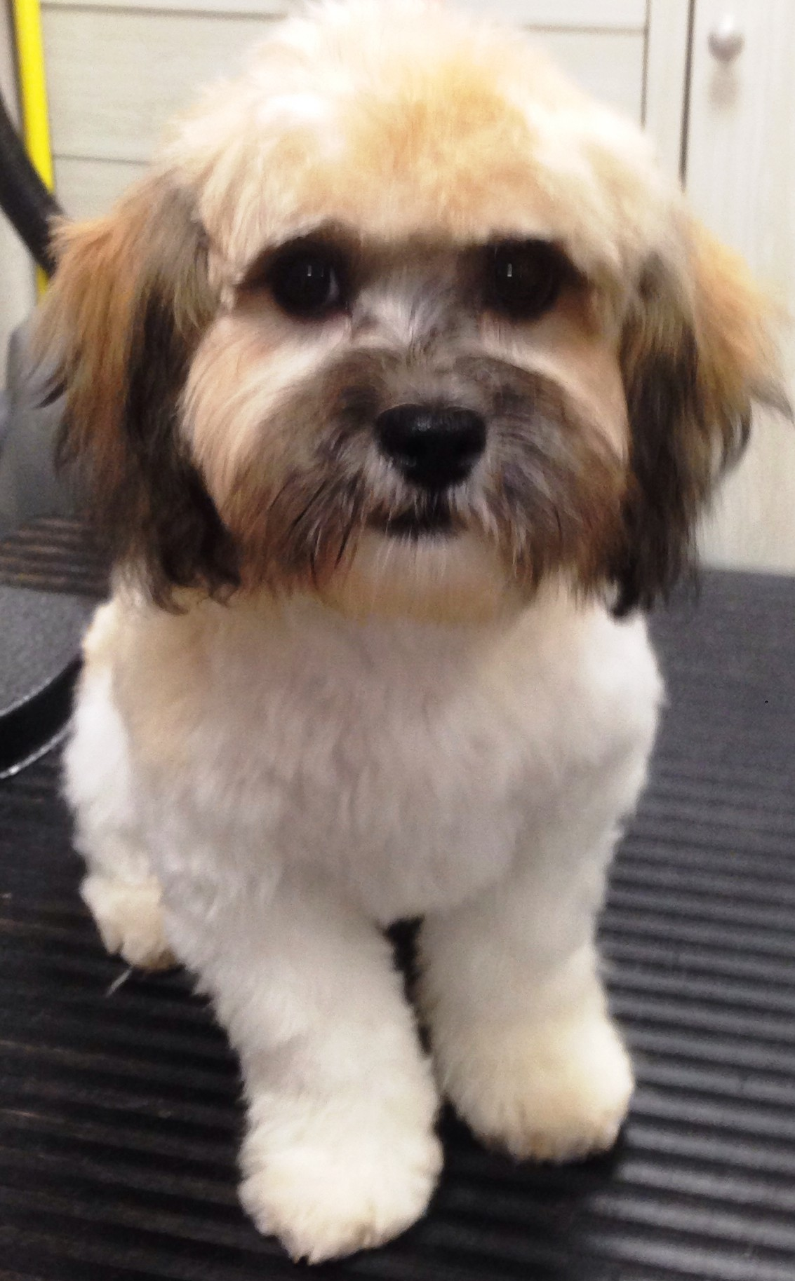 Dover Ma Bichon Frise Meet Neddy A Pet For Adoption