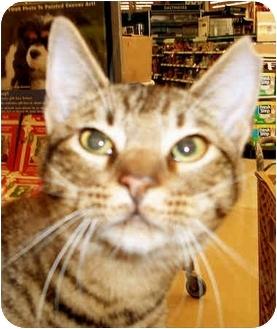 Bengal Cat for adoption in Dallas, Texas - Bennie