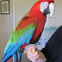 Adopt A Pet :: Chaco - Edgerton, WI