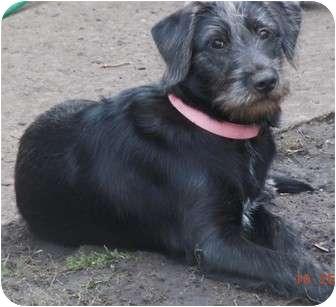 Bloomingdale Il Labrador Retriever Meet Boo A Pet For Adoption