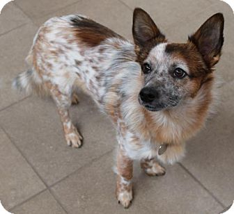 Truckee Ca Australian Cattle Dog Meet Colby A Pet For Adoption