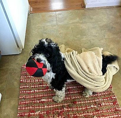 Mentor Oh Havanese Meet Cubby4 Yrs Old A Pet For Adoption