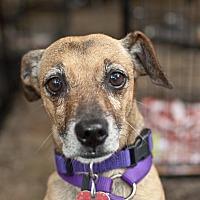Adopt A Pet :: Brownie - Tanner, AL