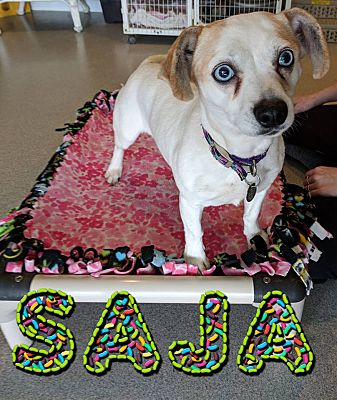 Toledo Oh Jack Russell Terrier Meet Saja A Pet For Adoption