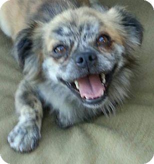Seattle Wa Pomeranian Meet Fraggle Rock A Pet For Adoption