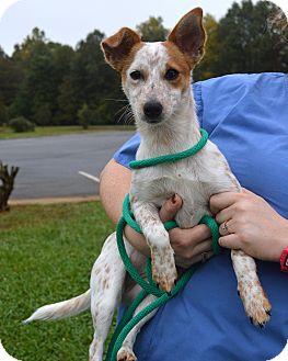 Hickory Nc Blue Heeler Meet Beth A Pet For Adoption